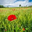 Red poppies on green field — Stock Photo #49591559