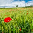 Red poppies on green field in summer — Stockfoto #49591587