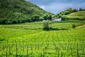 Green field with grapes in Tuscany — Stock fotografie