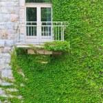 Climbing ivy — Stock Photo #13528041