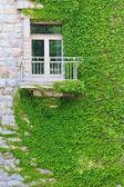 Climbing ivy — Stock Photo