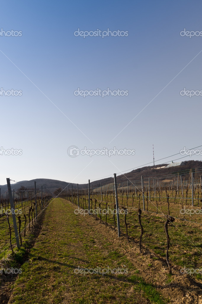 A vinyard in spring close to Vienna, Austria — Stock Photo #13527232