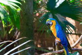 Blue-and-yellow Macaw — Zdjęcie stockowe