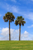 Two palm trees — Stockfoto