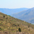 vinyard of loess terraces — Stock Photo