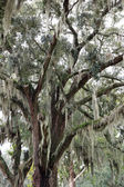 Spanish moss on live oak — Stock Photo