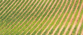 Tuscany wine growing in rows — Stock Photo