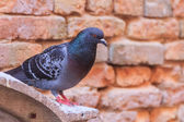 Feral pigeon — Stock Photo