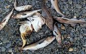 Dead Cod and Pollock on the beach — Stock fotografie