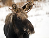 Portrait of a young moose in winter — Stock Photo