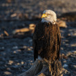 Portrait of an eagle — Stock Photo
