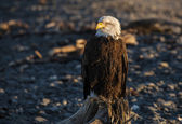 Portrait of an eagle — Stockfoto