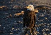 一只鹰的肖像 — 图库照片