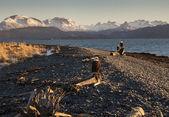 орлы на пляже аляски — Стоковое фото