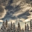 Spruce trees with clouds — Stock Photo