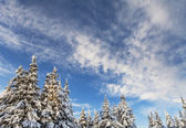 Snowy trees with blue sky — Stock Photo