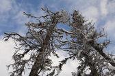 死んだアラスカ トウヒ — ストック写真