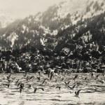 Winter Shorebirds in Flight — Stock Photo