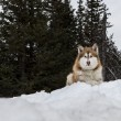Stock Photo: Malamute watching and waiting