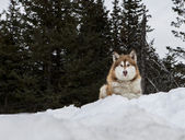 Malamute watching and waiting — Stock Photo