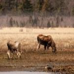 Alaskan wildlife in fall — Stock Photo