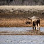 Moose in an Alaskan wetland — Stock Photo