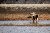 лось в водно-болотных угодий аляски — Стоковое фото
