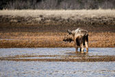 Moose in an Alaskan wetland — Stock Photo