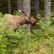 Moose in the spruce — Stock Photo