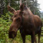 Alaskan Moose, close up — Stock Photo
