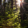 Light through the trees — Stock Photo