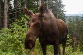Alaskan älg, närbild — Stockfoto