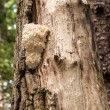 Hericium on cottonwood — ストック写真