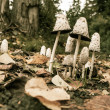 Stock Photo: Shaggy Mane Mushrooms