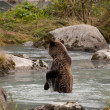 Grizzly in river — Stock Photo