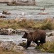 Young AlaskGrizzly — Stock Photo #31663819