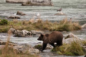 Young Alaskan Grizzly — Stock Photo