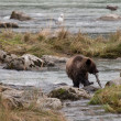 Young grizzly with salmon — Stockfoto