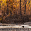 Bald eagle in fall — Stock Photo