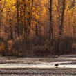 Bald eagle in fall — Stock Photo #33216217
