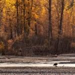 Bald eagle in fall — Stock Photo