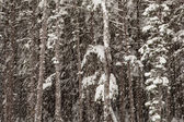 Forest with falling snow — Stock Photo
