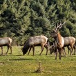 Elk in Northern California — Stock Photo #41064573