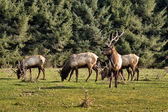 Elk in Northern California — Stock Photo