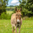 Furry Donkey — Stock Photo