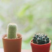 Cactus for decoration — Stock Photo