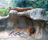 Sleeping tigers — Stockfoto