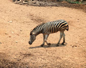 Young zebra — Stock Photo