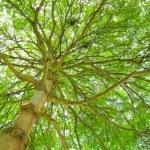 Leafy tree — Stock Photo