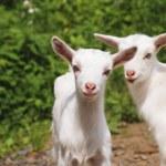 Постер, плакат: Little goats